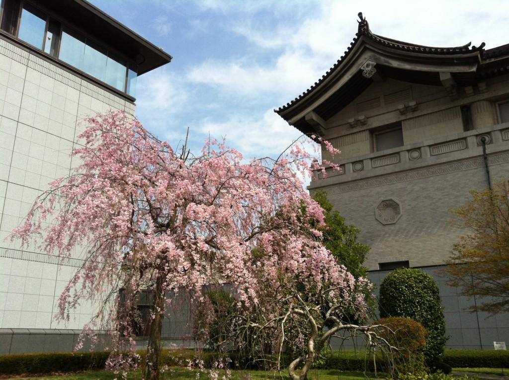 Cherry blossoms in Ueno, Tokyo